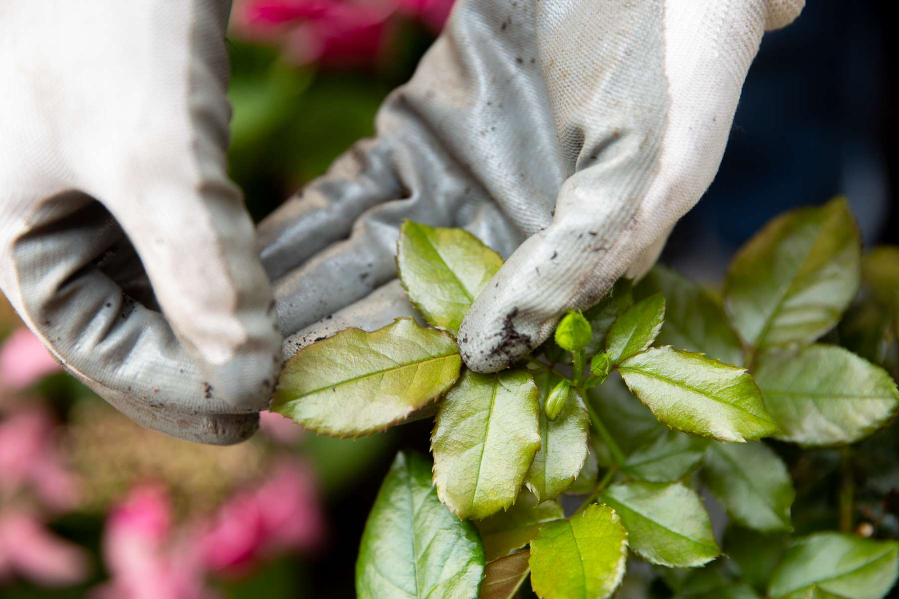 Rose bush leaves with powdery mildew disease held up with gloves
