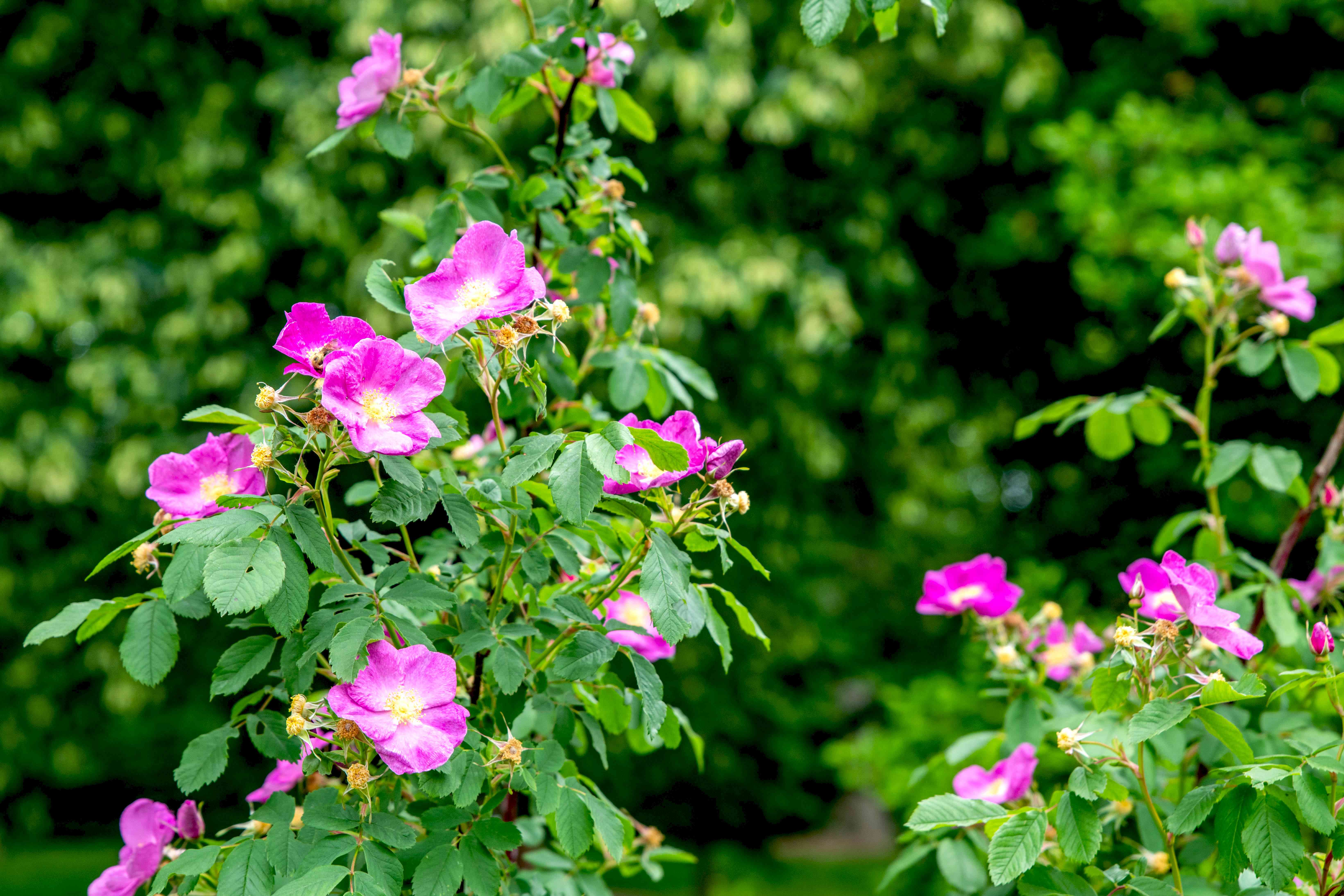 Carolina rose shrub with tall branches and large pink flowers