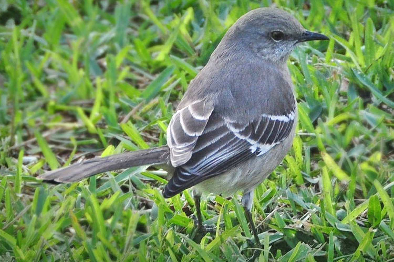 Northern Mockingbird, the state bird in Mississippi, standing in the grass.