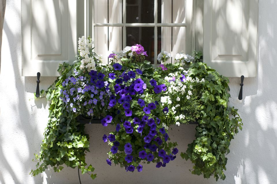 Caja de ventana con cordyline, viola, helecho cola de zorro, petunia y hiedra