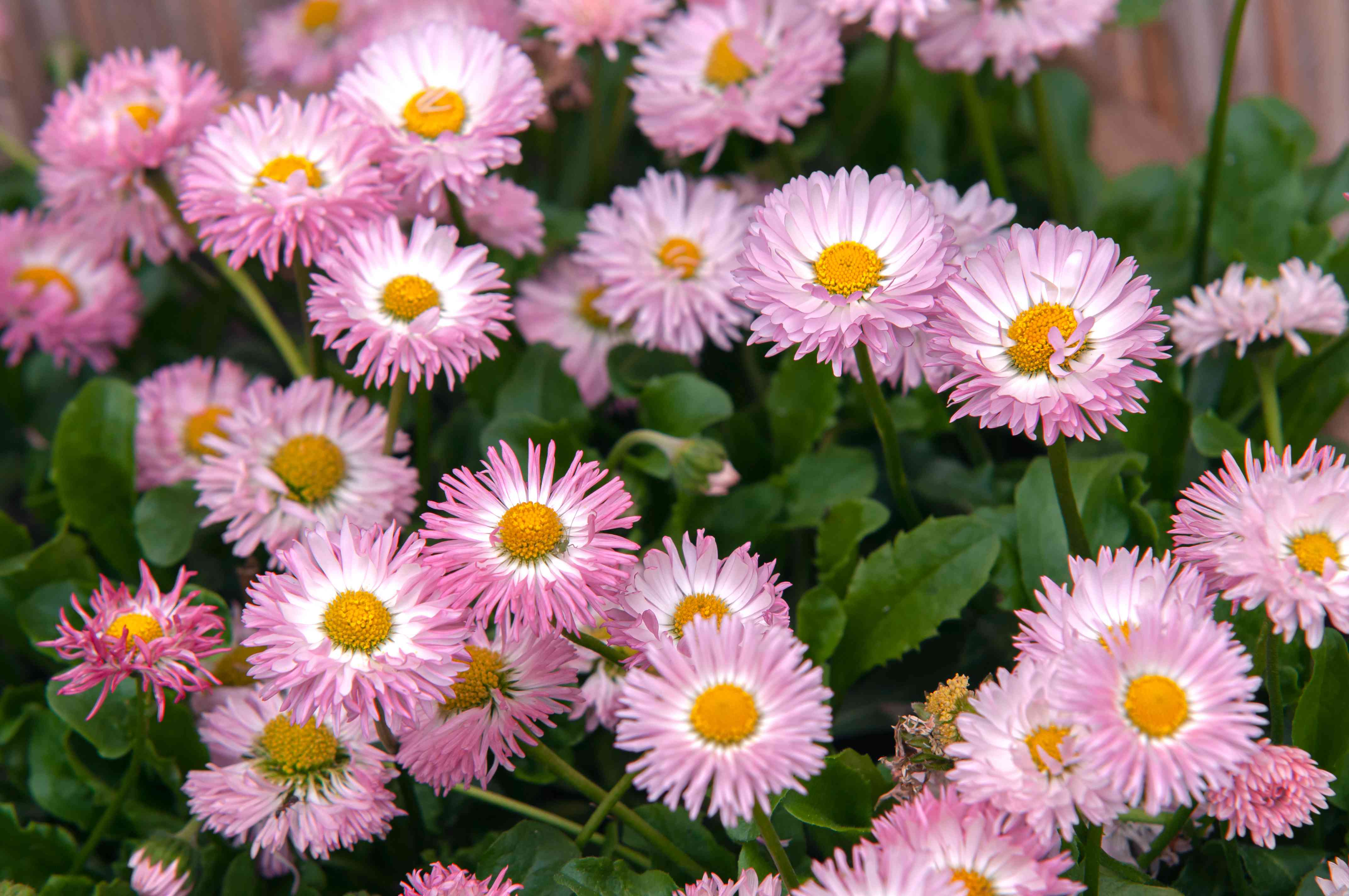 English daisy with pink flowers