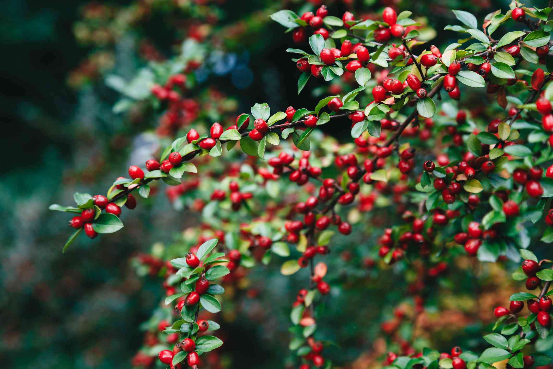 Cotoneaster bush with small red berries and glossy green leaves