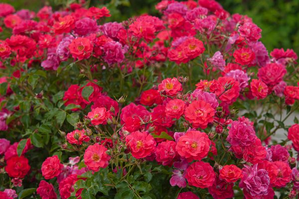 Rose bush with pink flowers