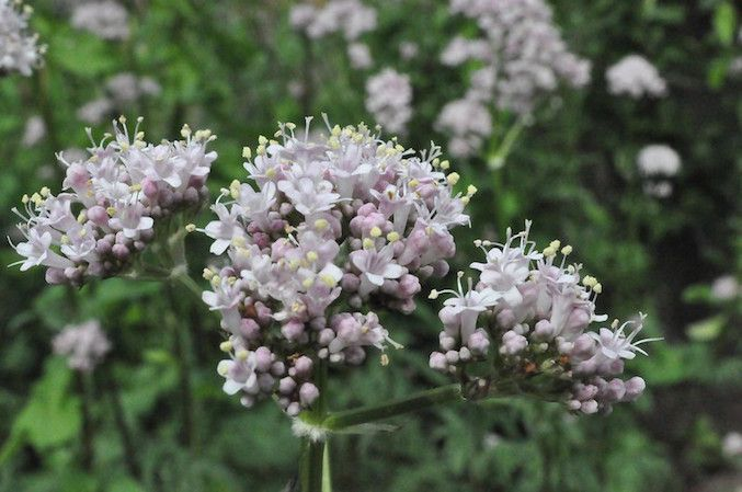 Pale pink trumpet shaped flowers in clusters on green stems