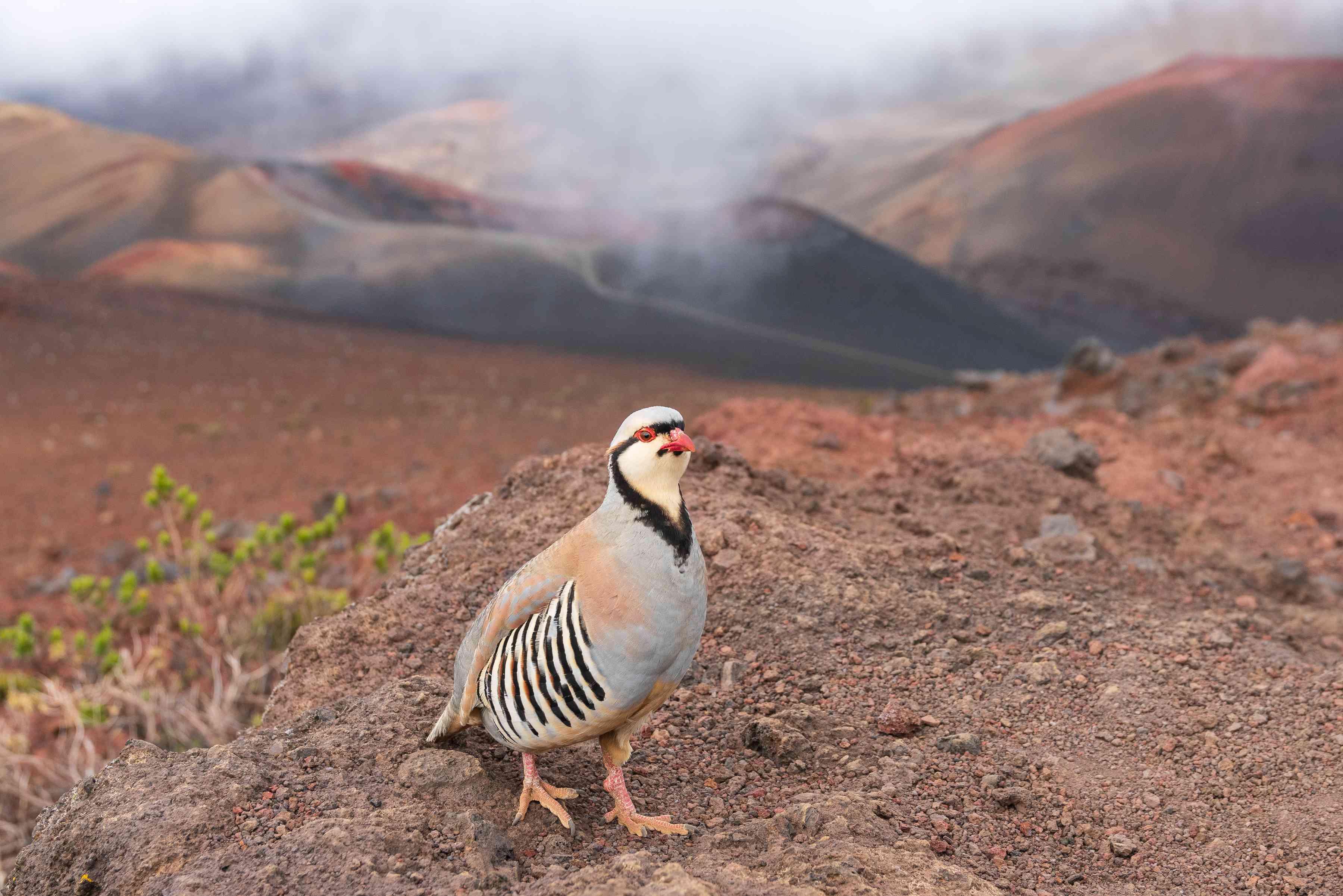 Chukar partridge in the Haleakala National Park