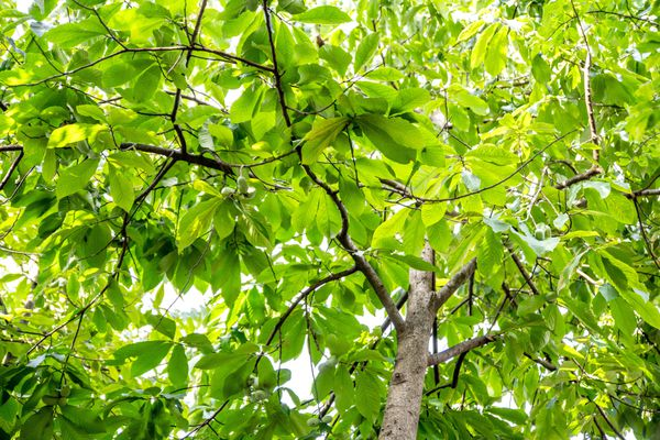 Pawpaw tree with bright green leaves seen from below