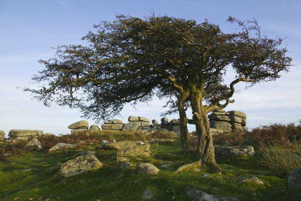 Hawthorn tree in Devon, Great Britain