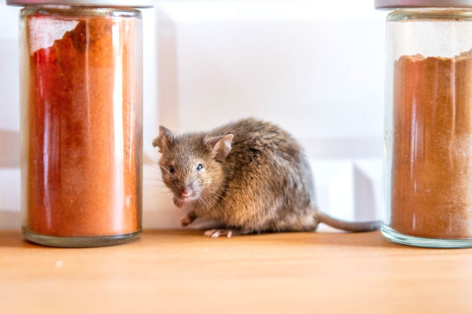 Brown mouse sitting between two glass containers with orange spices