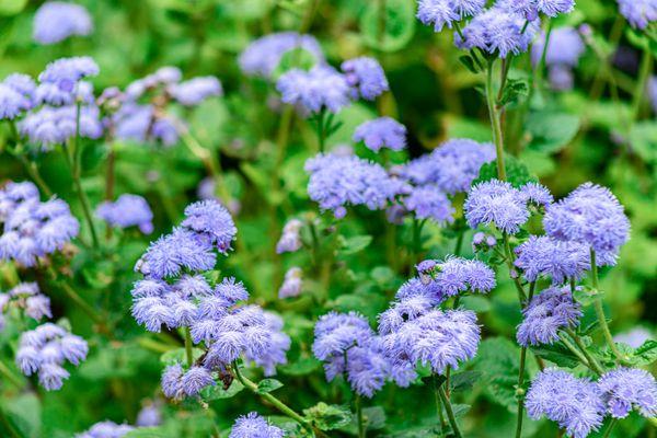 caryopteris flowers
