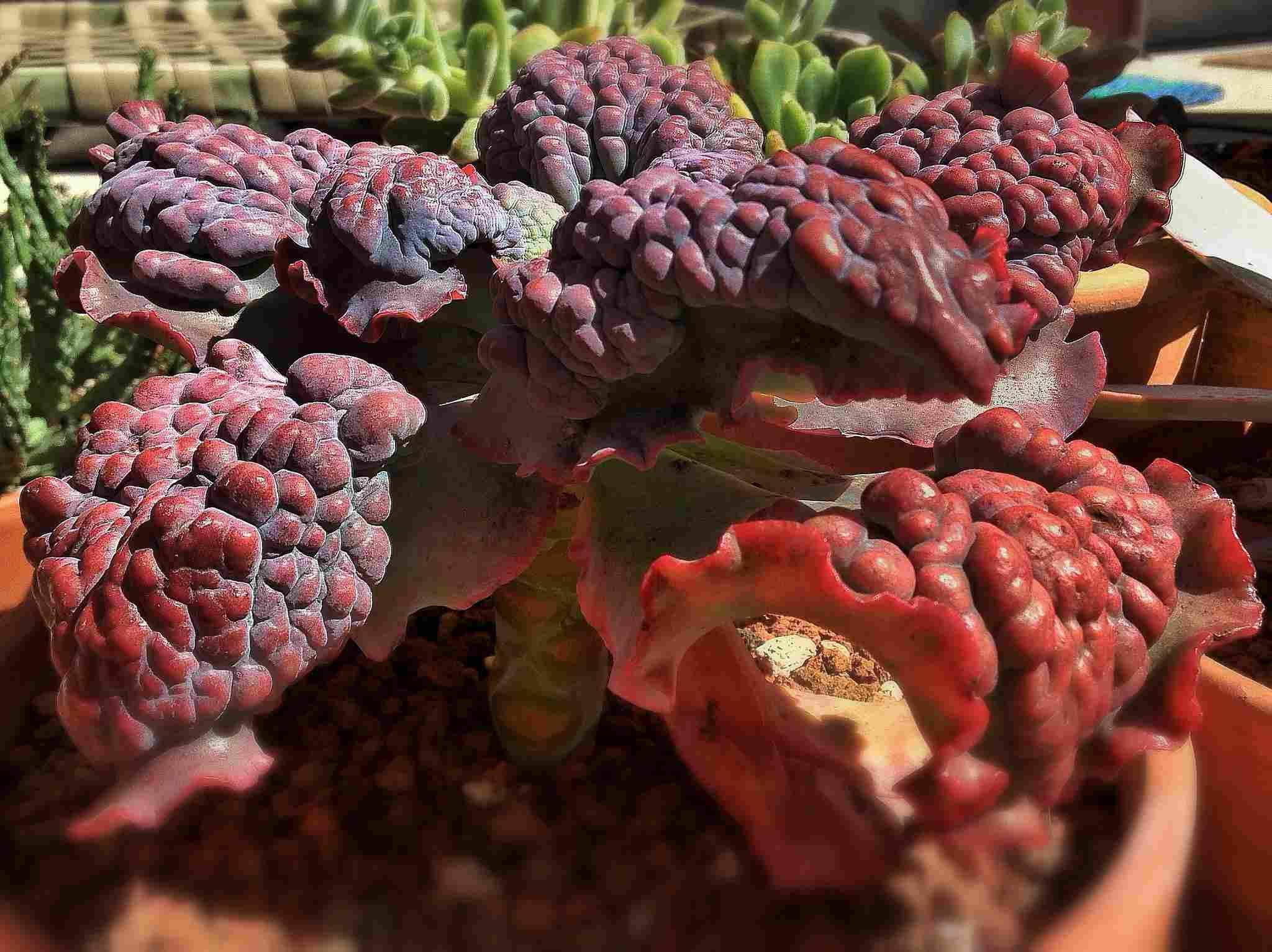 Echeveria gibbiflora 'Barbillion' in outdoor pots.