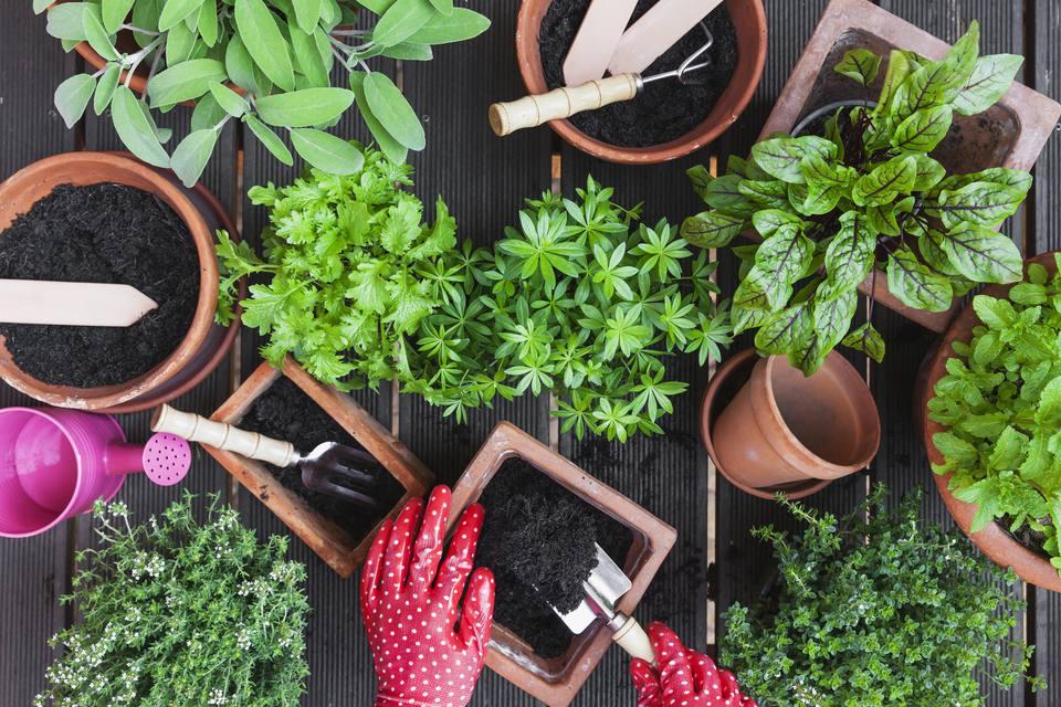 Overhead view of gardener repotting plants