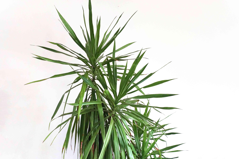 hojas de plantas dracaena