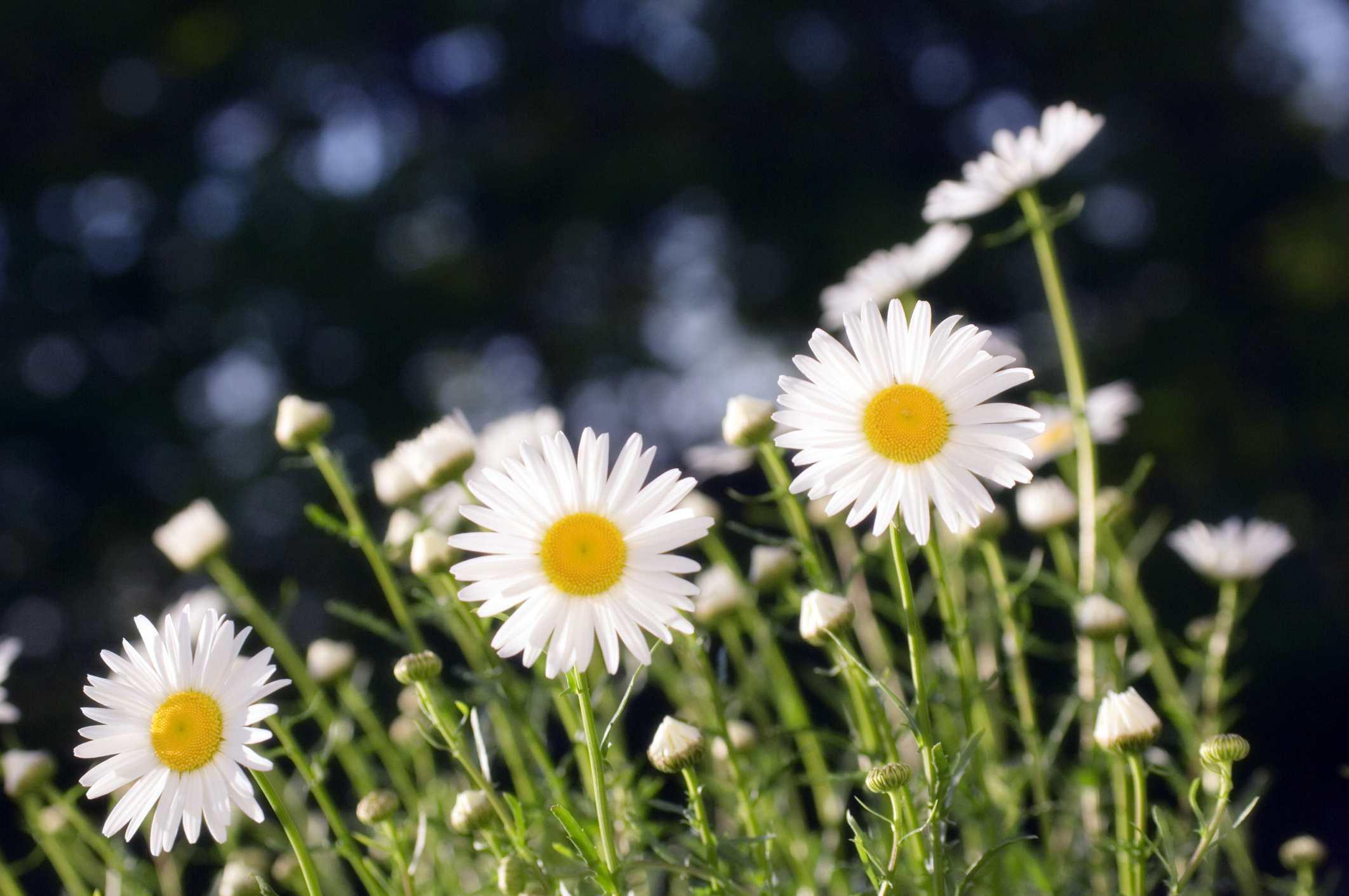 White daisies against dark background