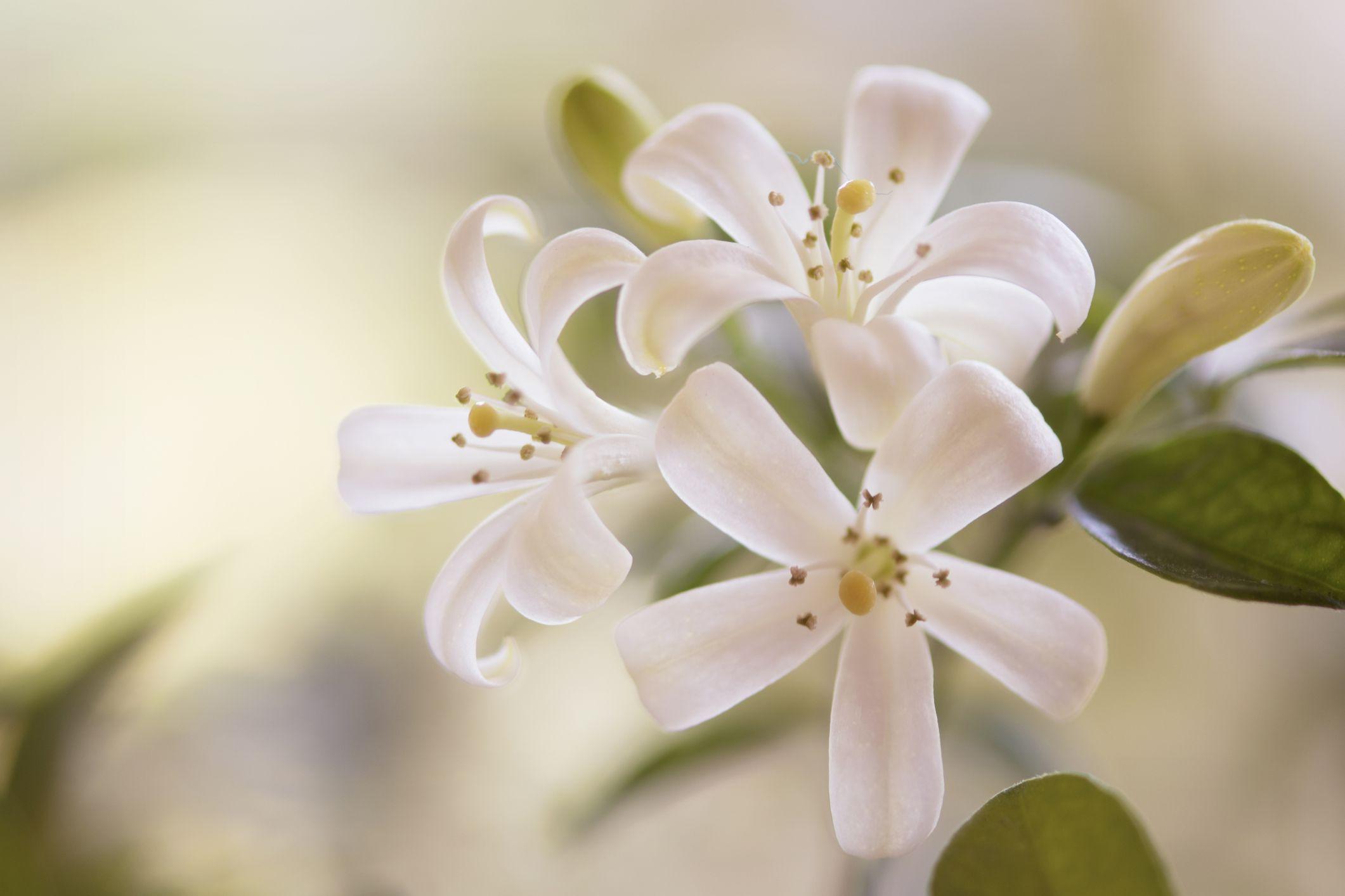 Growing Orange Jasmine In The Home Garden