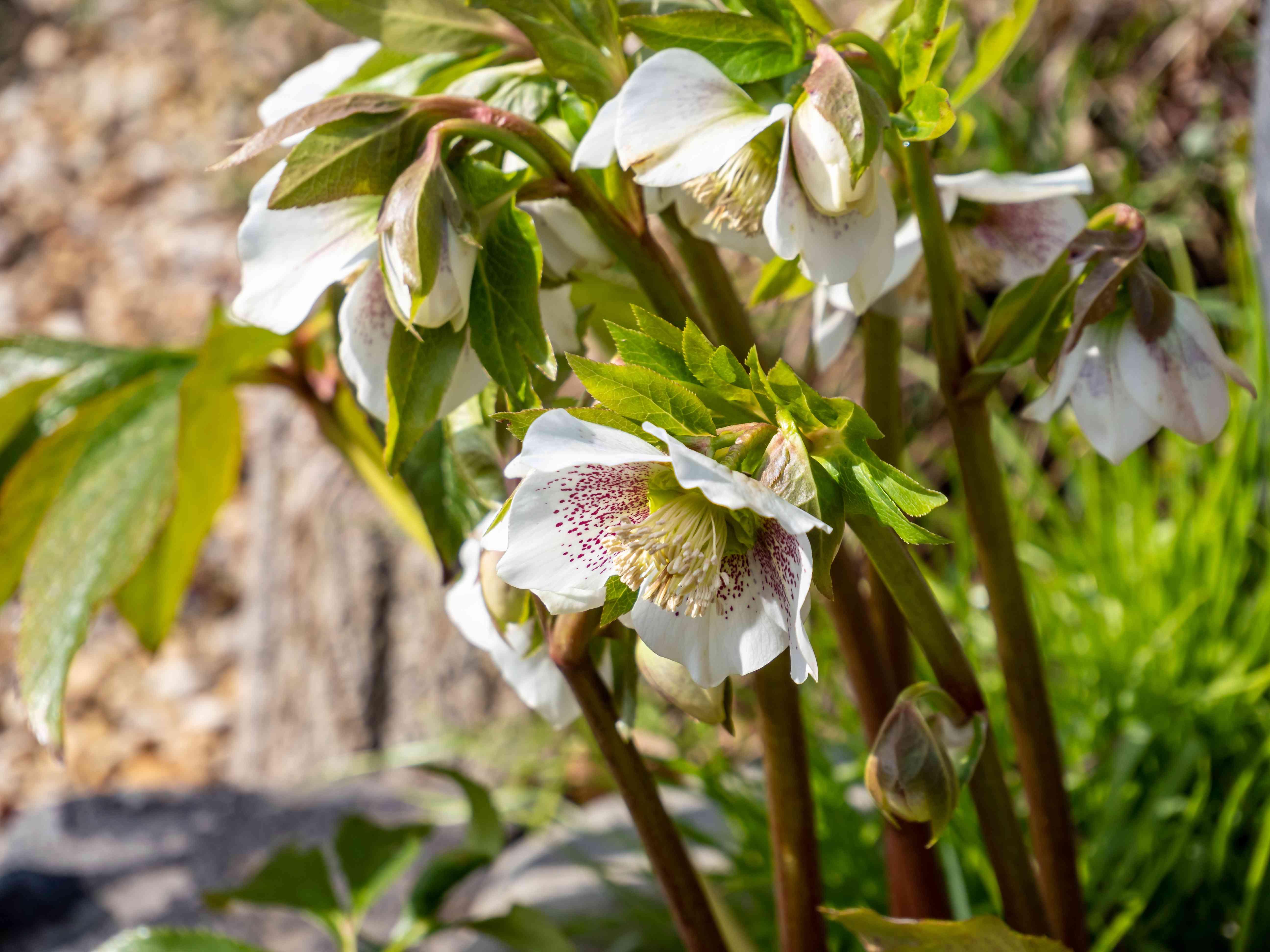 Oriental white hellebore snow rose in bloom