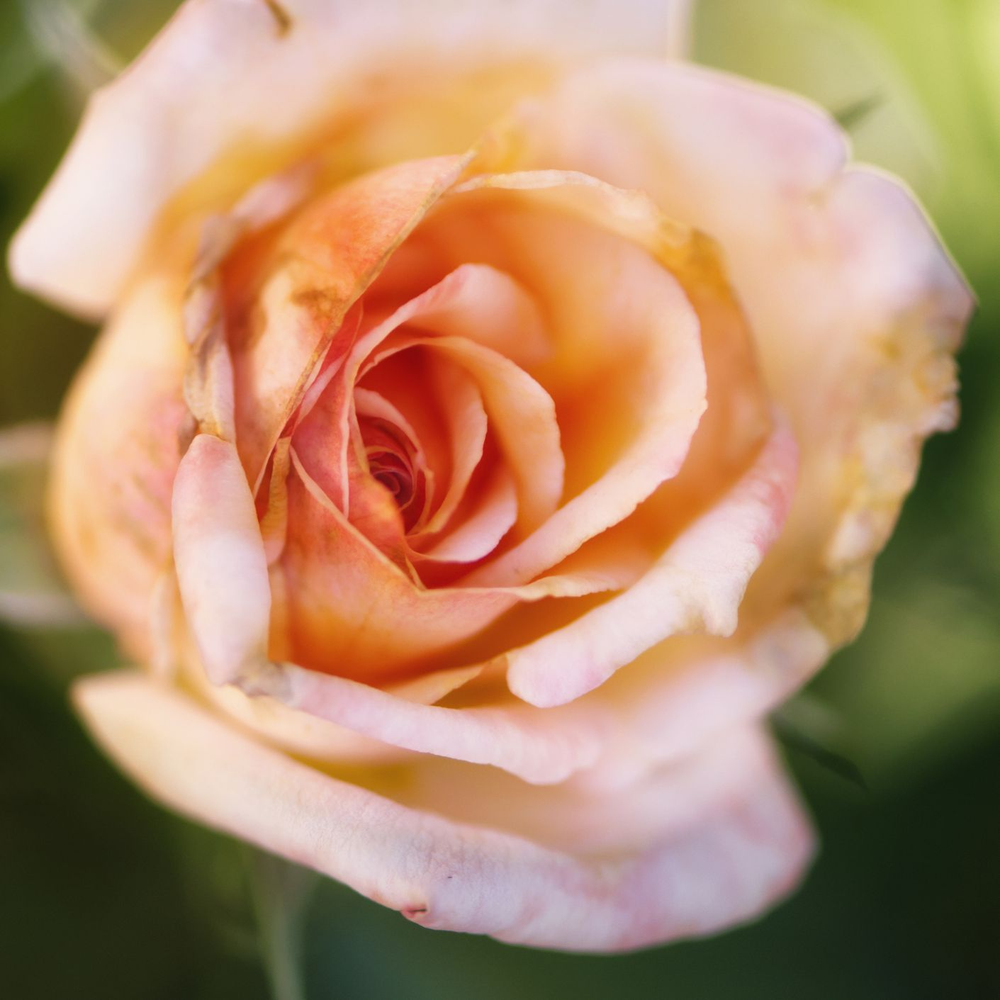 Rosa puesta de sol de Tahití