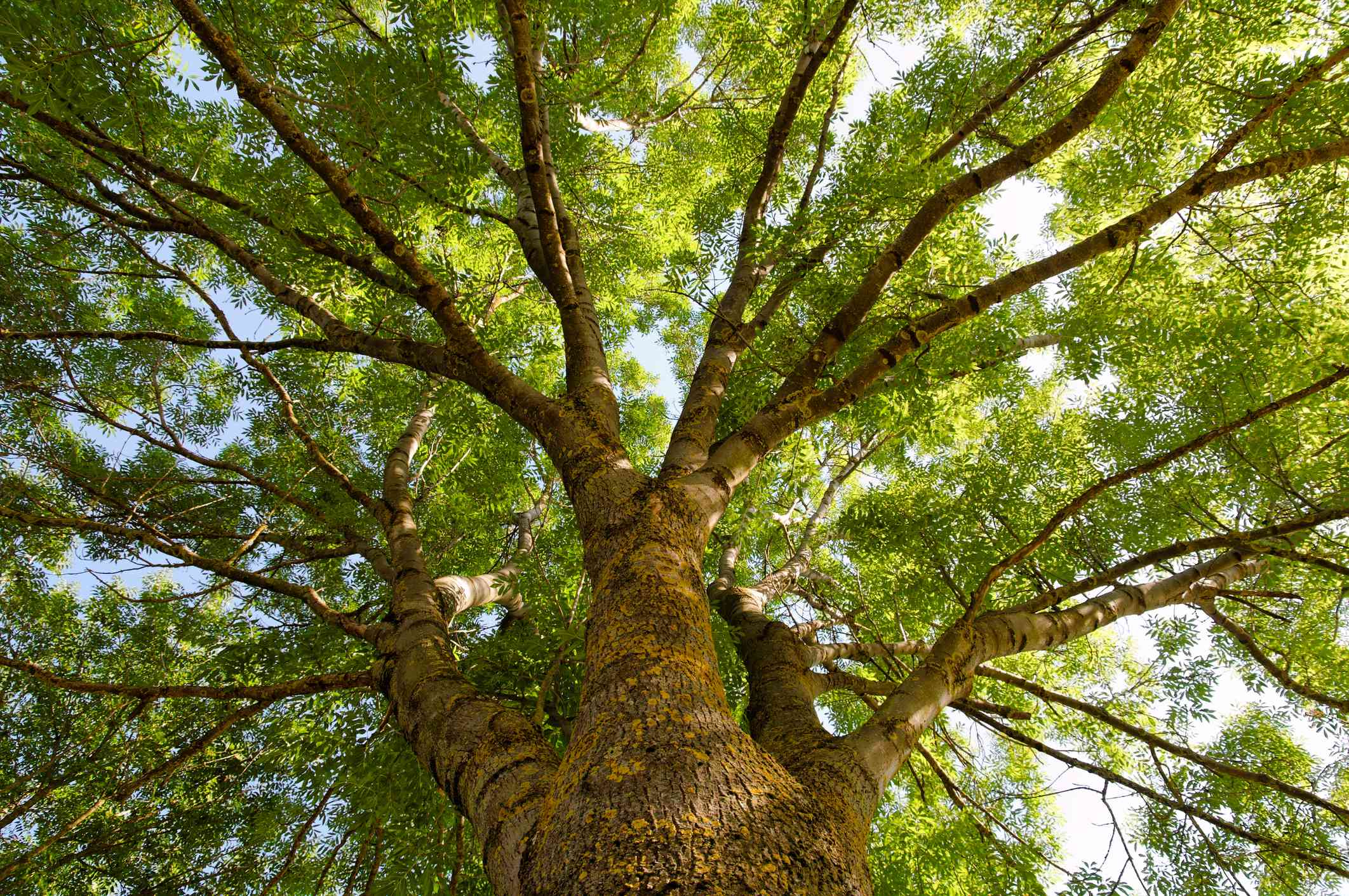 Fraxinus excelsior, more commonly known as the Ash tree
