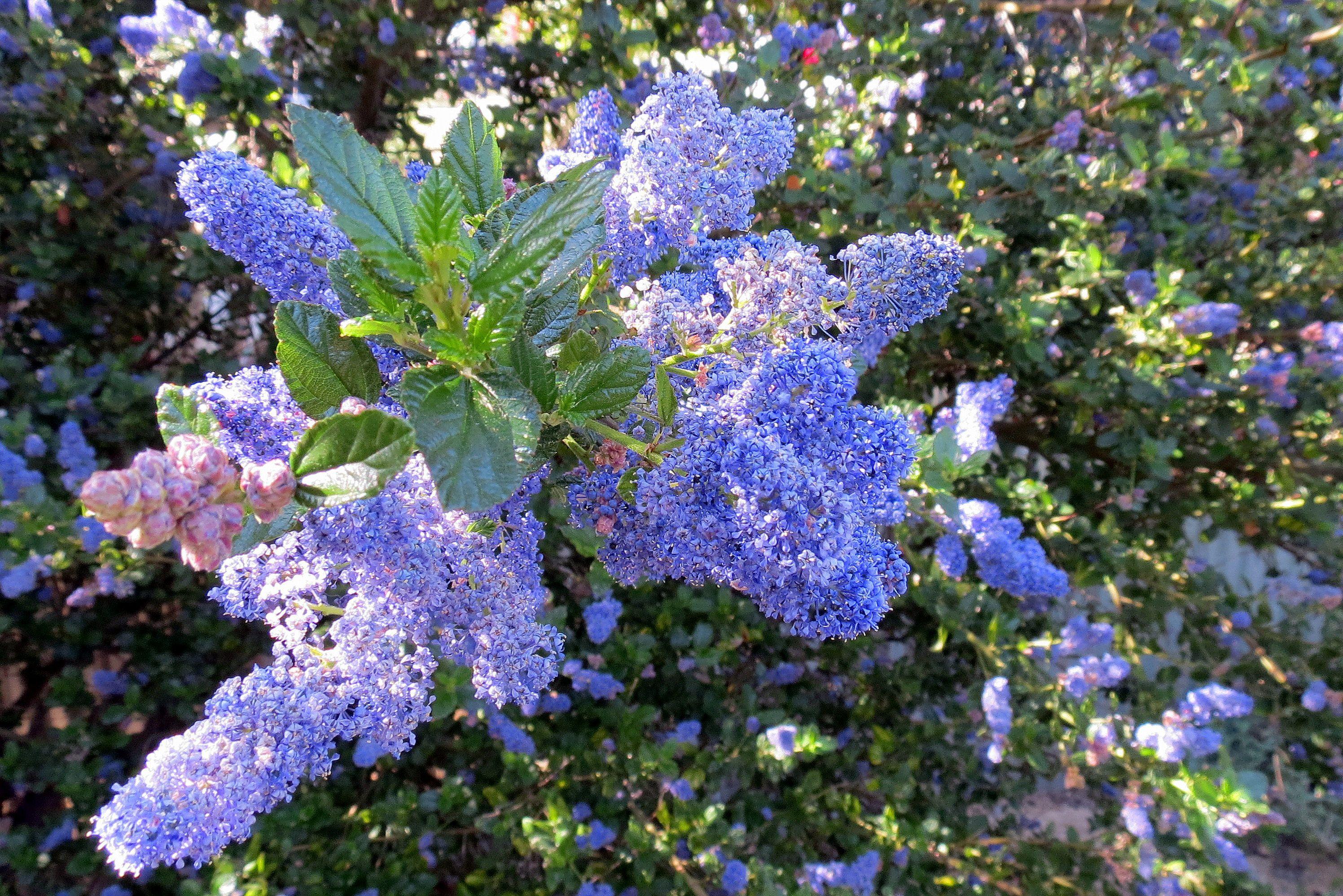 Primer plano de una hermosa flor azul de un ceanothus