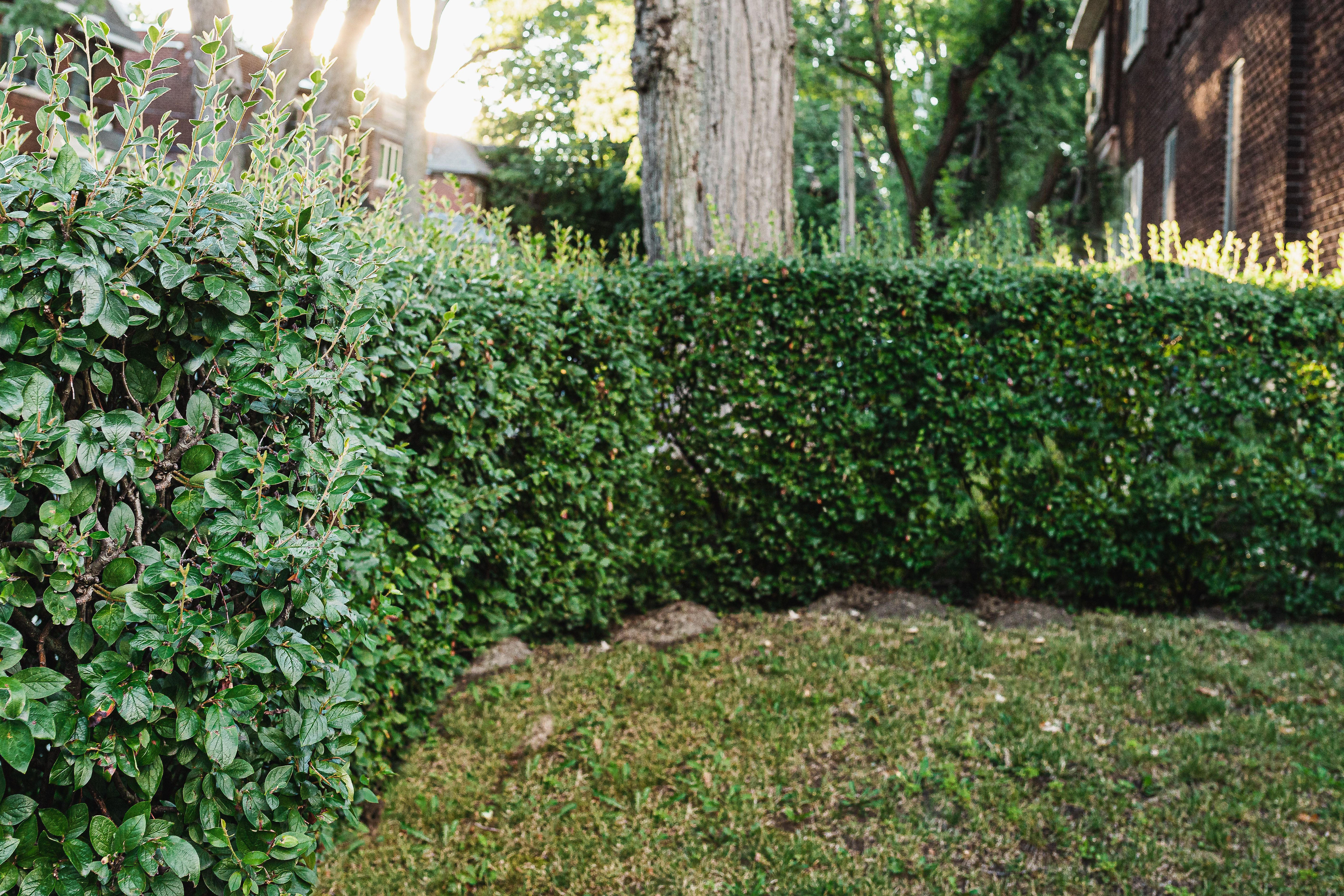 17 Fast Growing Shrubs For Privacy Hedges