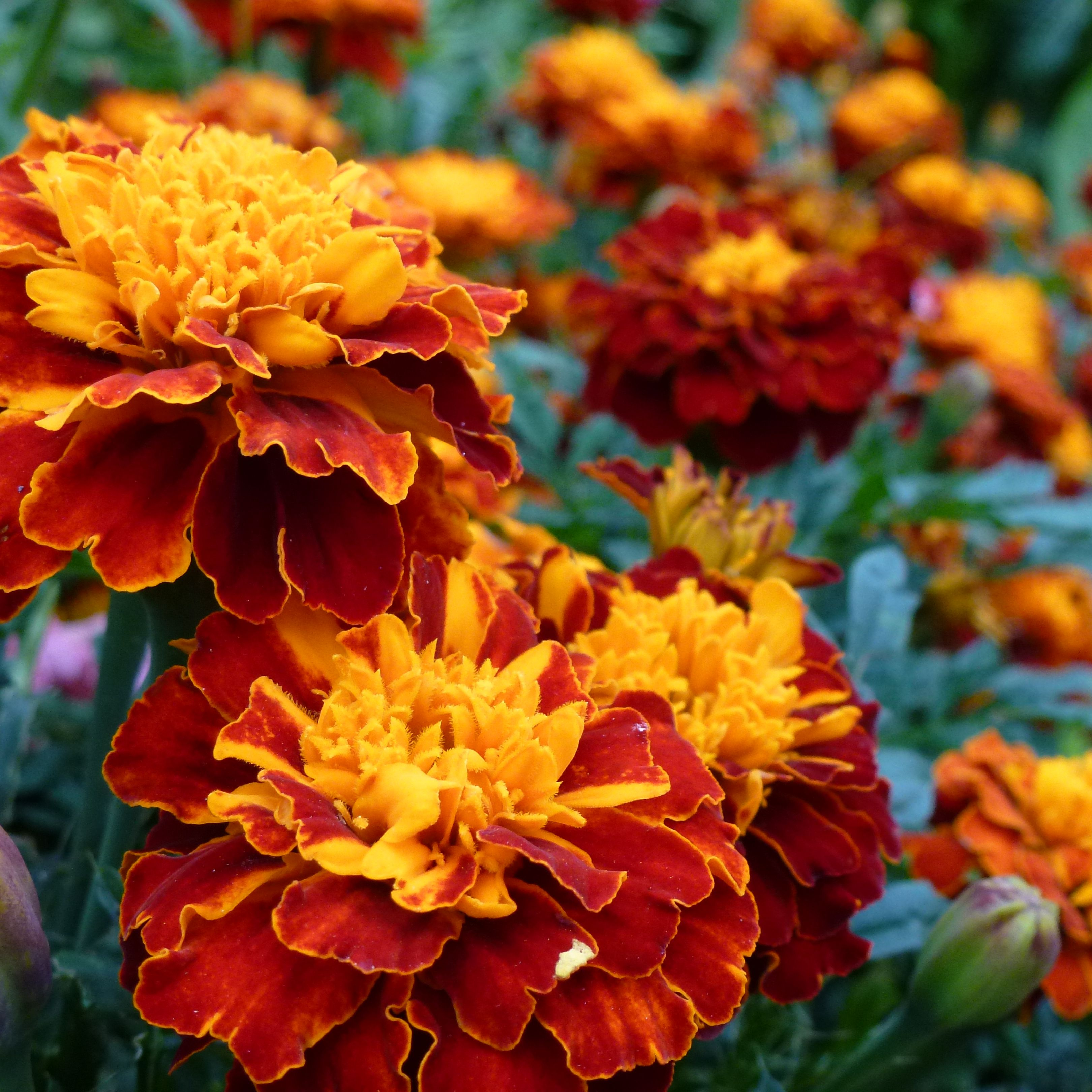 List Of Best Fall Flowers To Plant For Autumn Colors