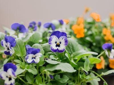 violas growing outdoors