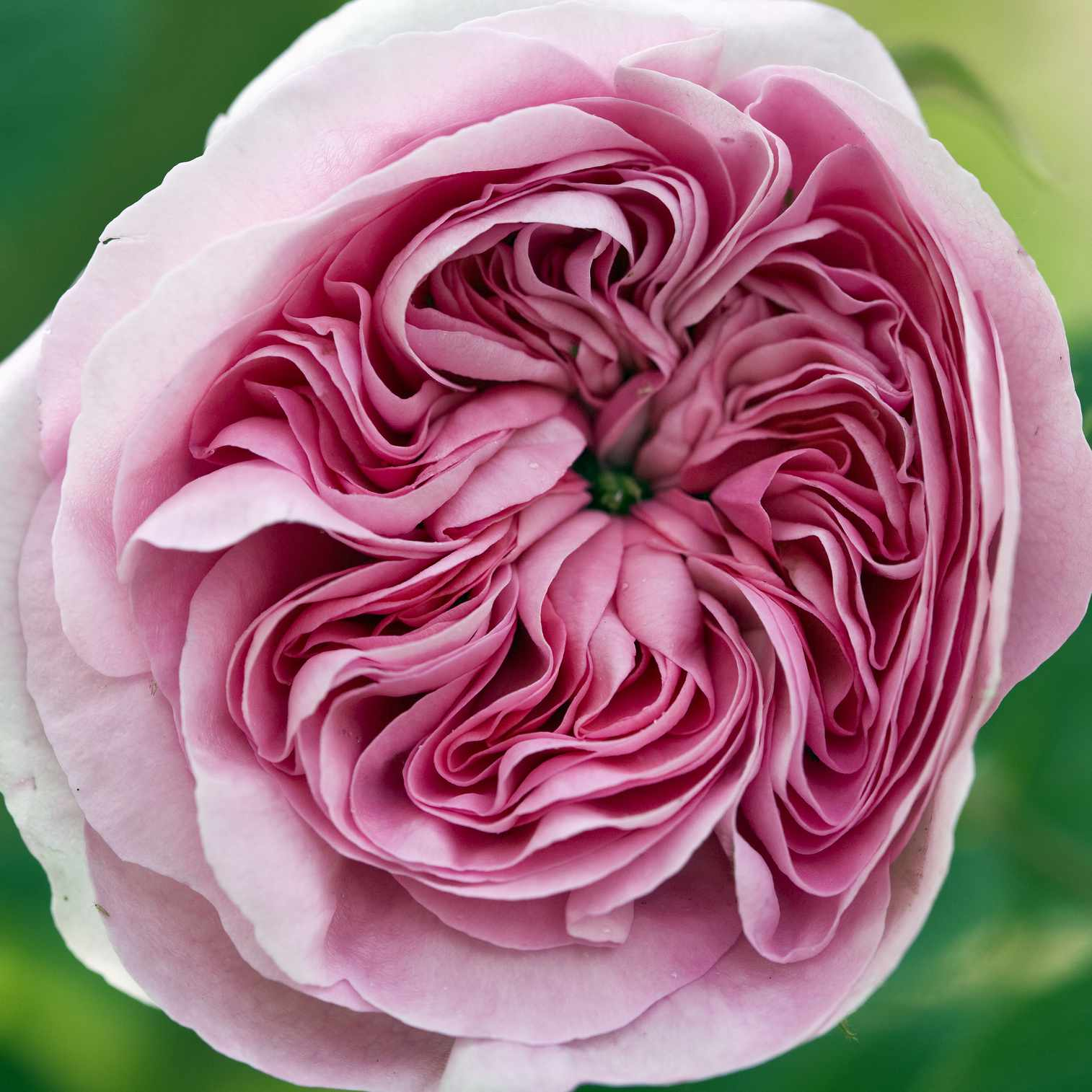 Heritage English Rose