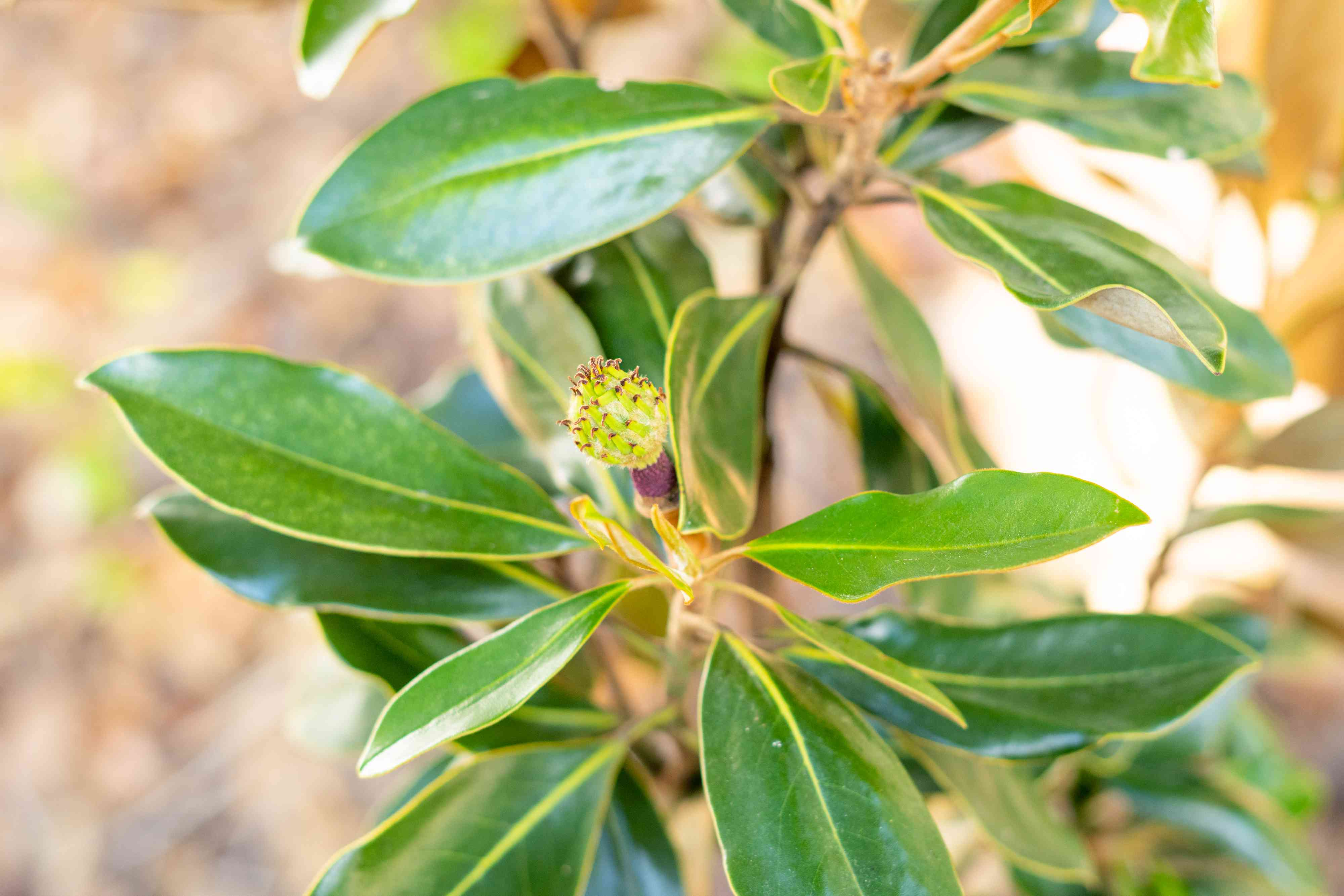 Potted magnolia tree with waxy leaves and bud