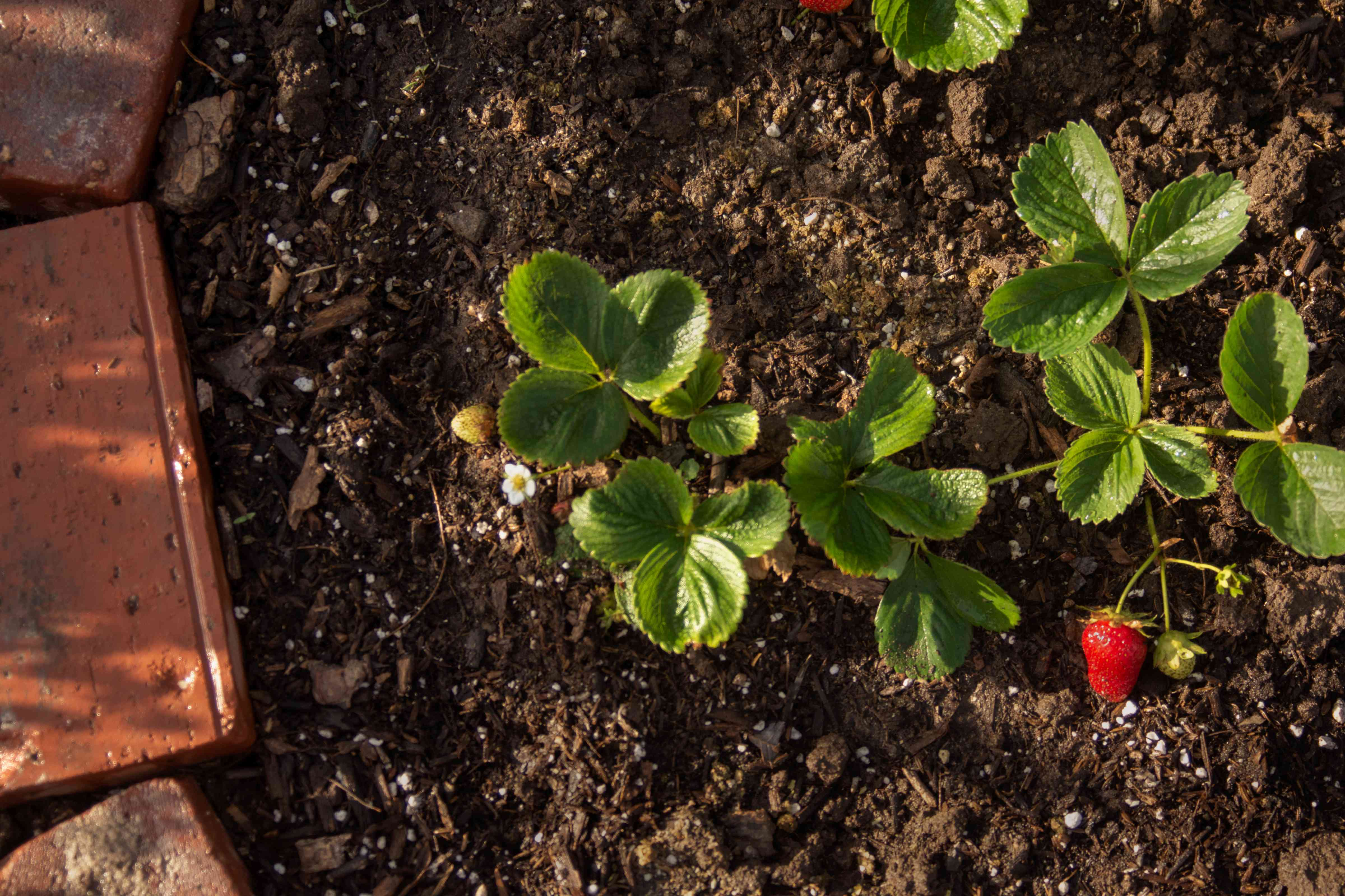 Strawberry plants with red fruit in garden bed spaced apart by 6 inches