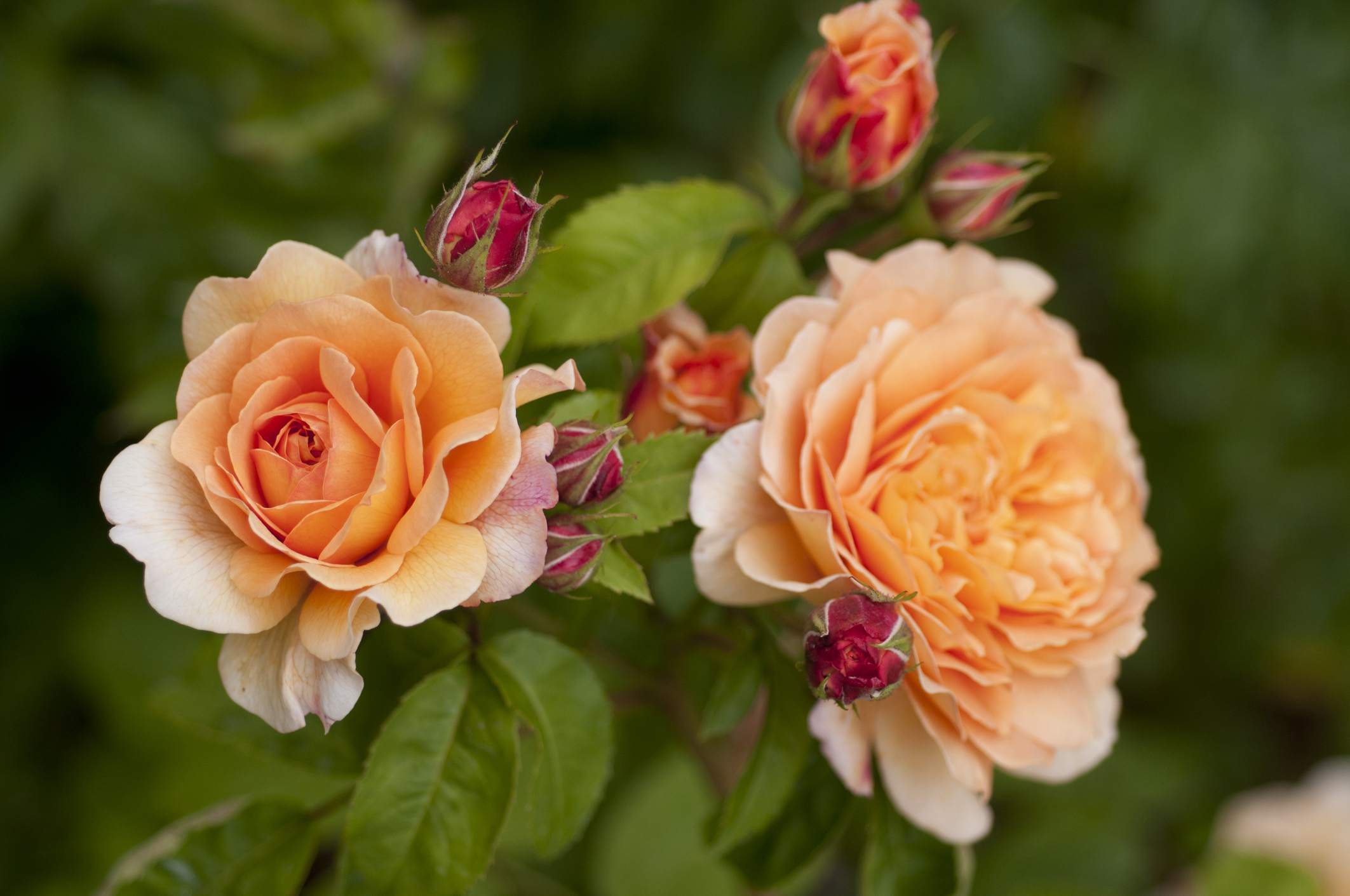 Crown Princesa Margareta Rose