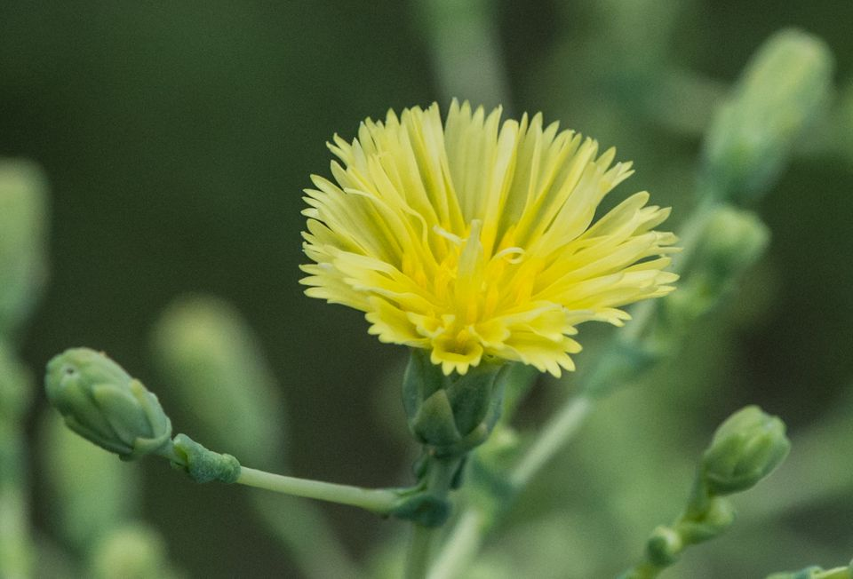 """""""Tango"""" lettuce flower"""
