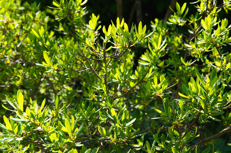 Myrica pensylvanica o planta de bayberry verde en la luz del sol
