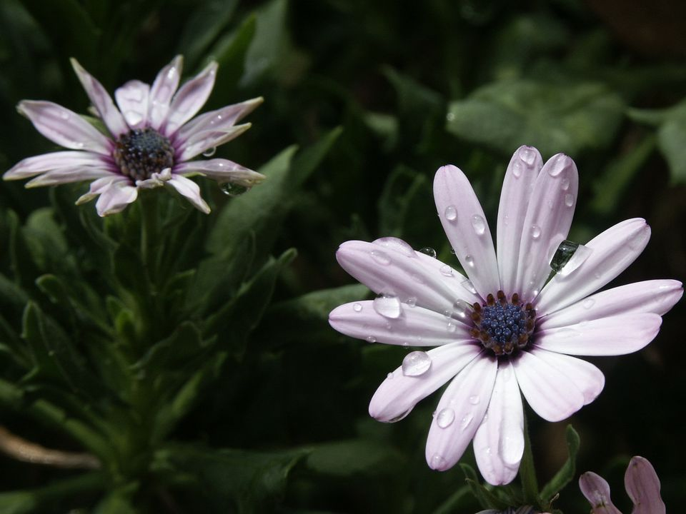 Two African daisy blooms.