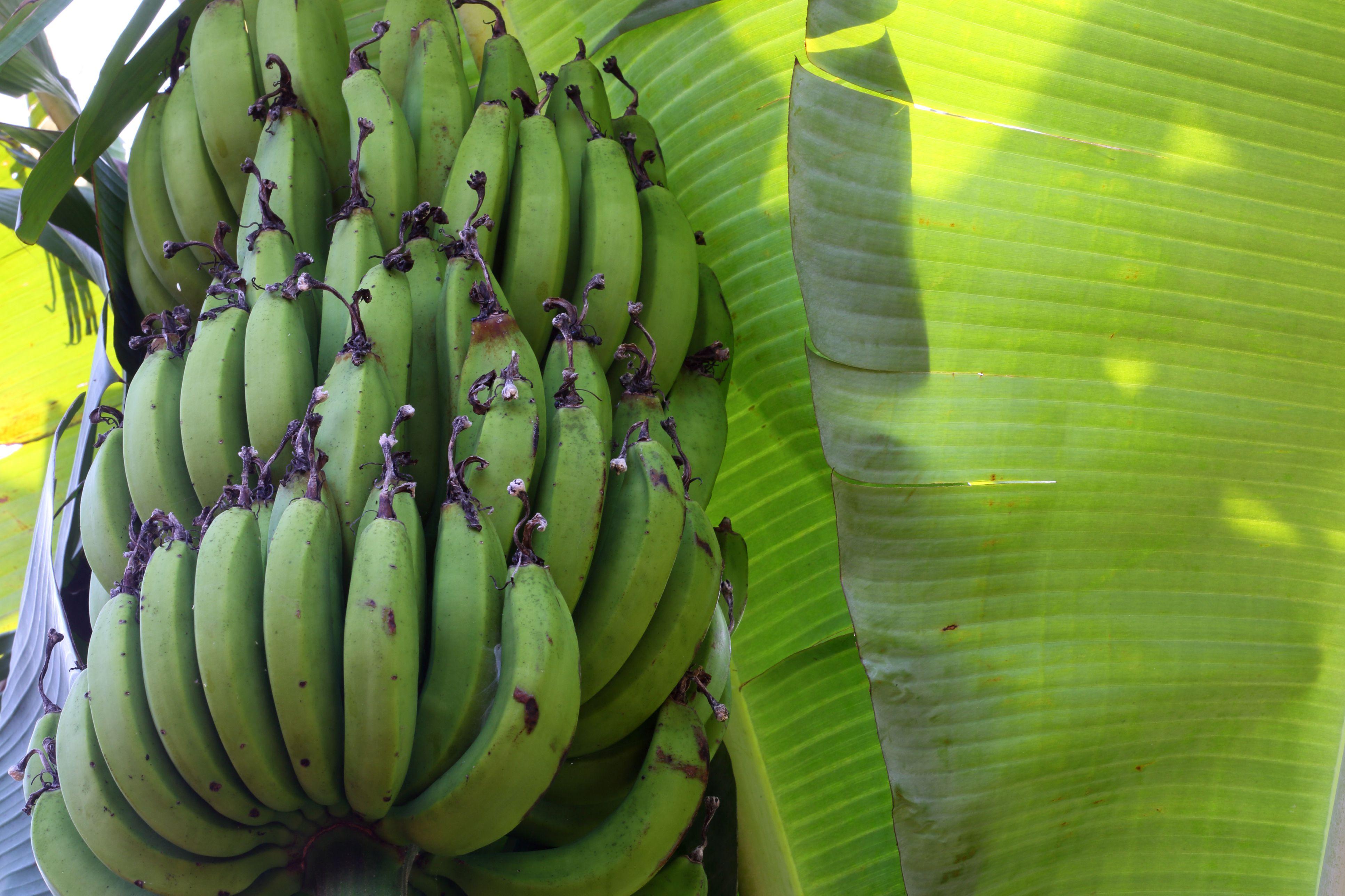 Banana tree with leaves and bananas