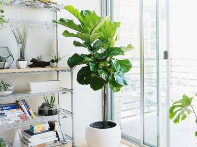 Indoor Trees That Make A Statement