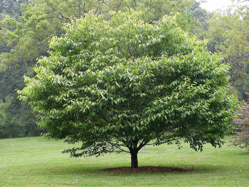 Hornbeam Maple Tree growing in a garden