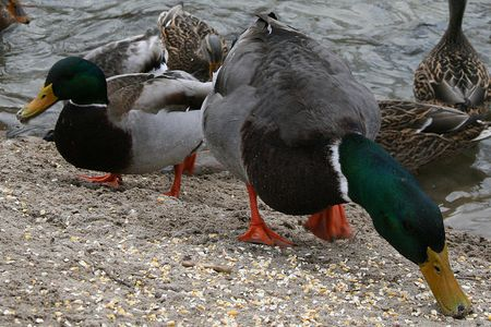 What To Feed Ducks Best Duck Food