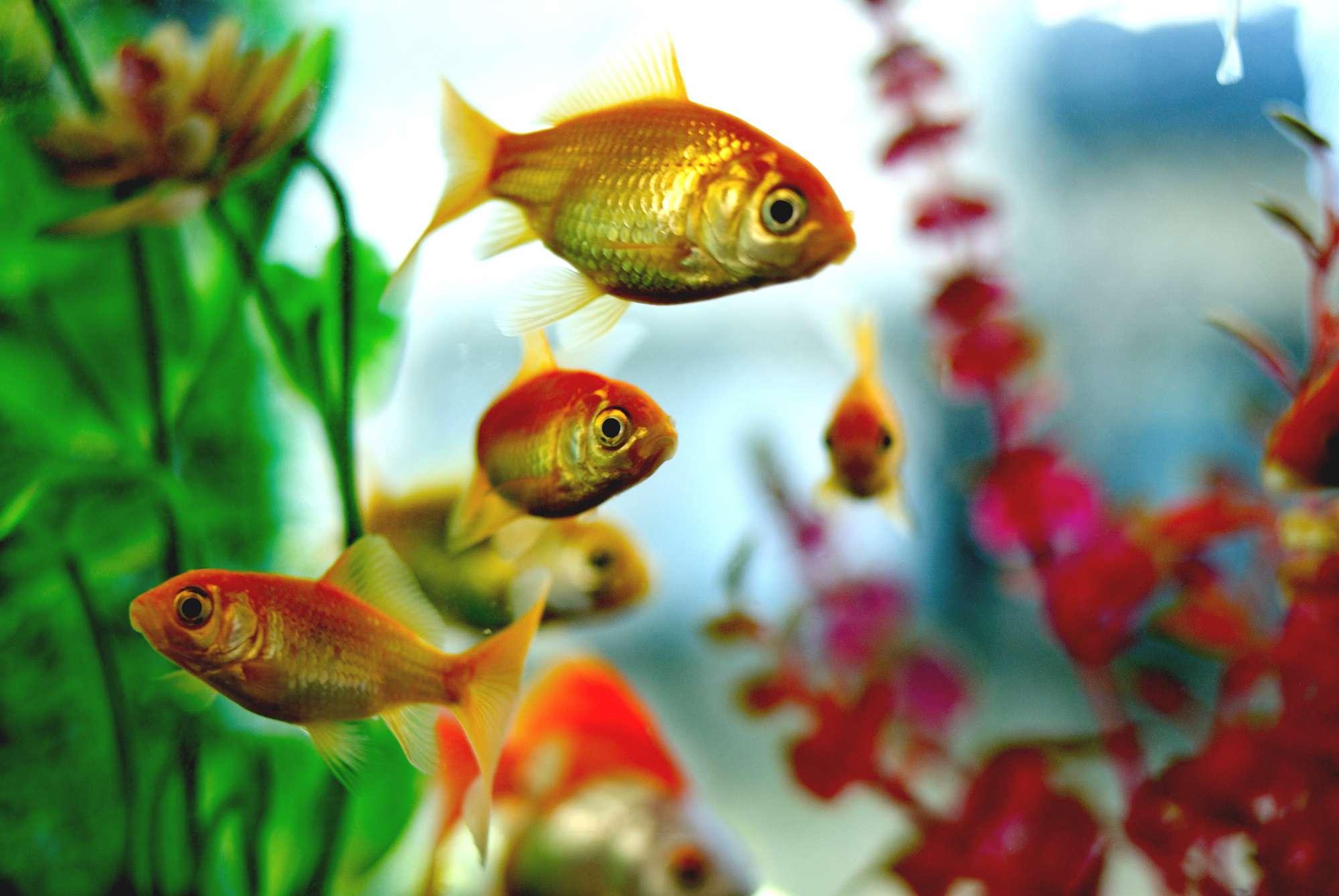 A close-up of goldfish in an aquarium