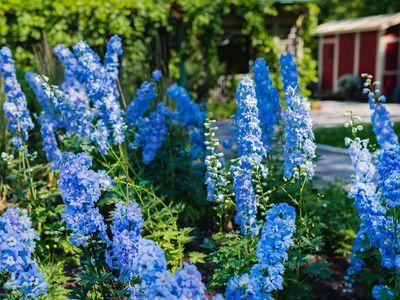 delphinium flowers growing in a garden