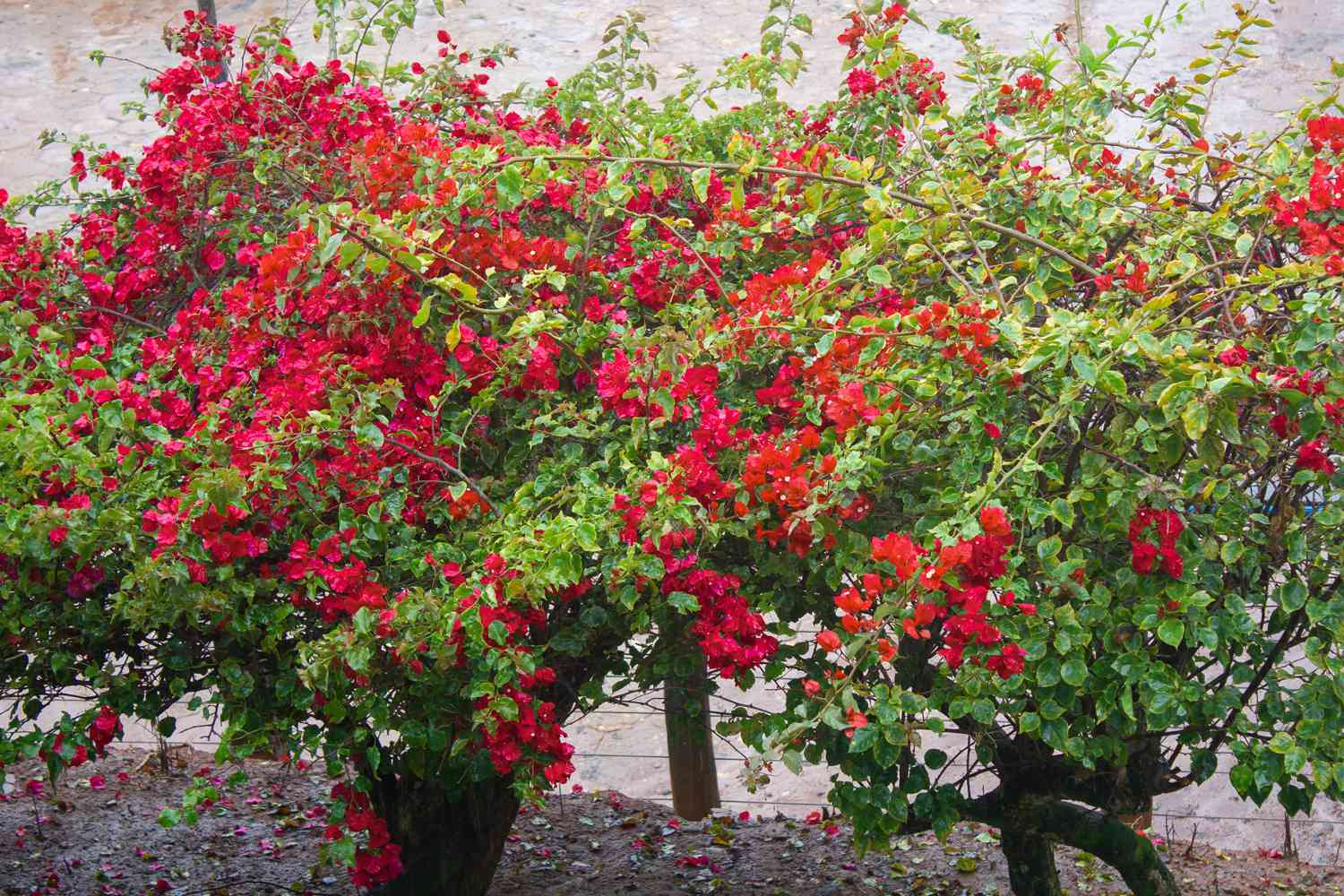 Bougainvilleas shrubs with long branches with bright red and pink flowers