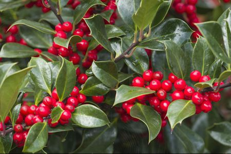 When Is The Best Time For Pruning Holly