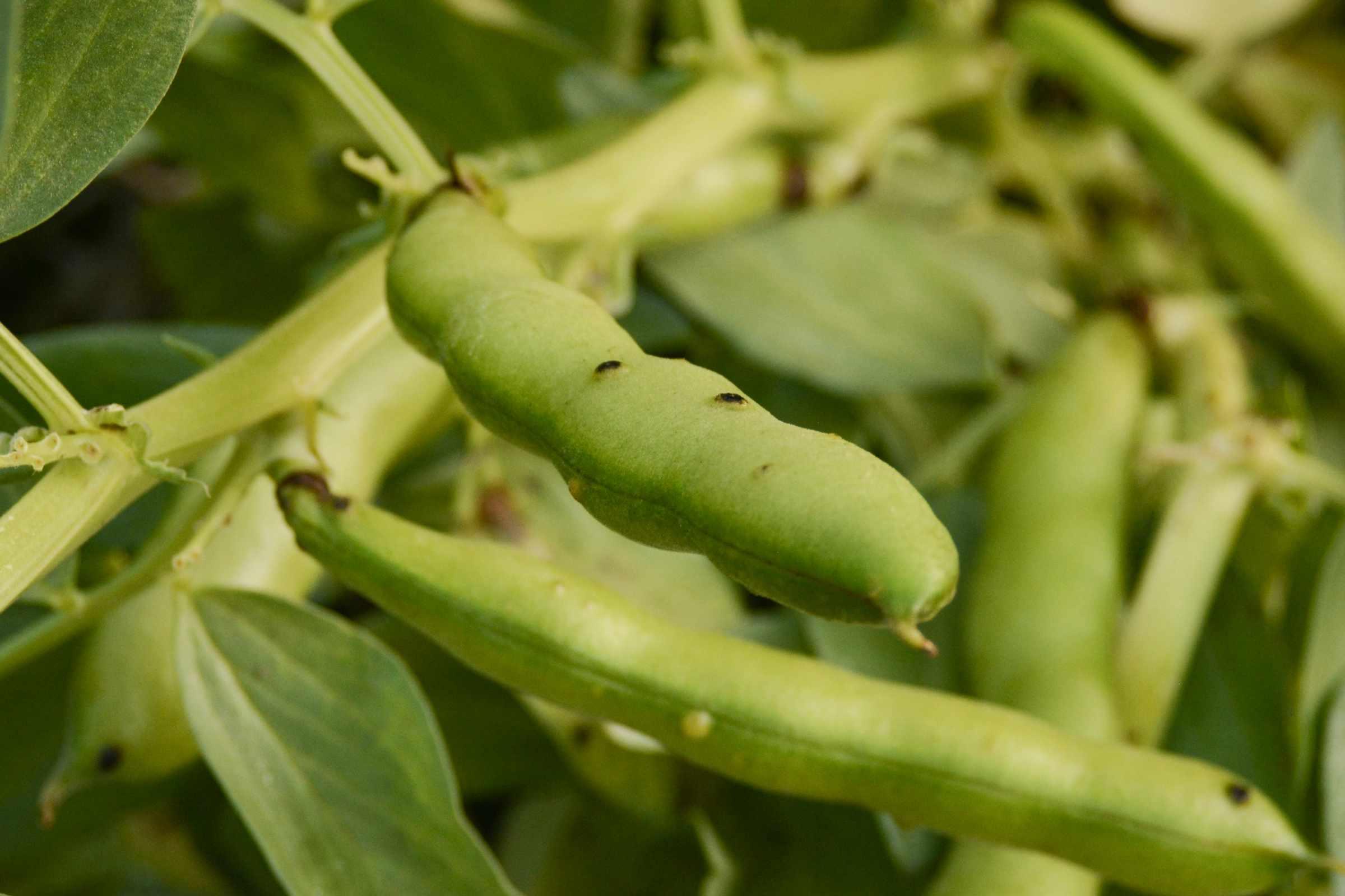 Green fava bean pods on stem closeup