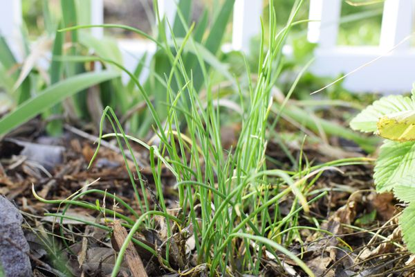 Chives planted in ground near white fence