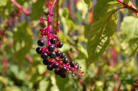 Pokeweed: Poisonous Purple Berries Tempting to Children