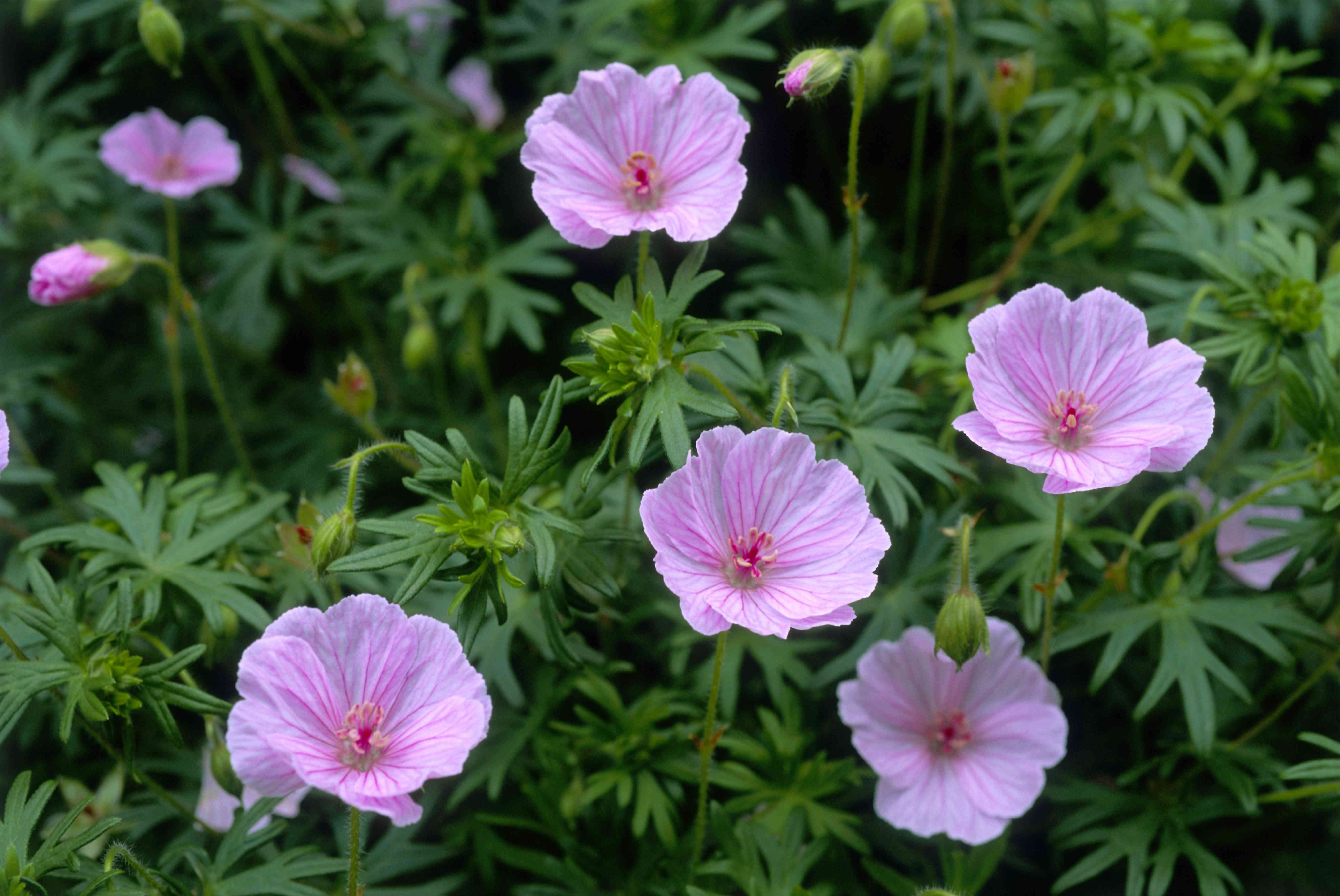 Bloody cranesbill geraniums with pink flowers