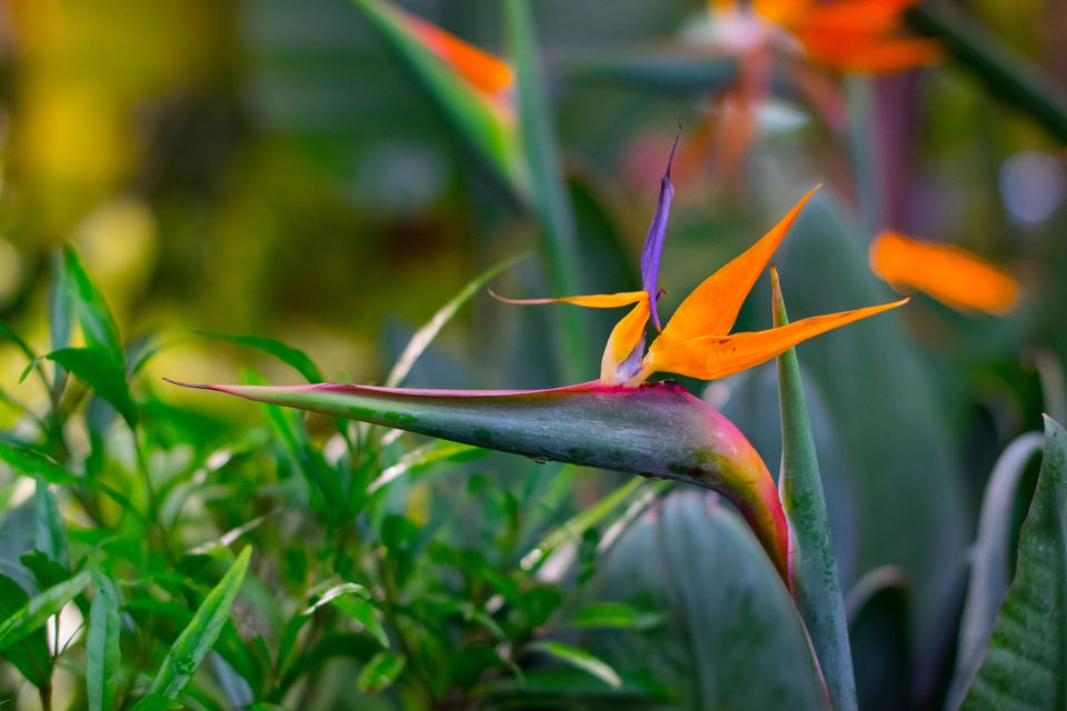 Close-up of bird of paradise blooming