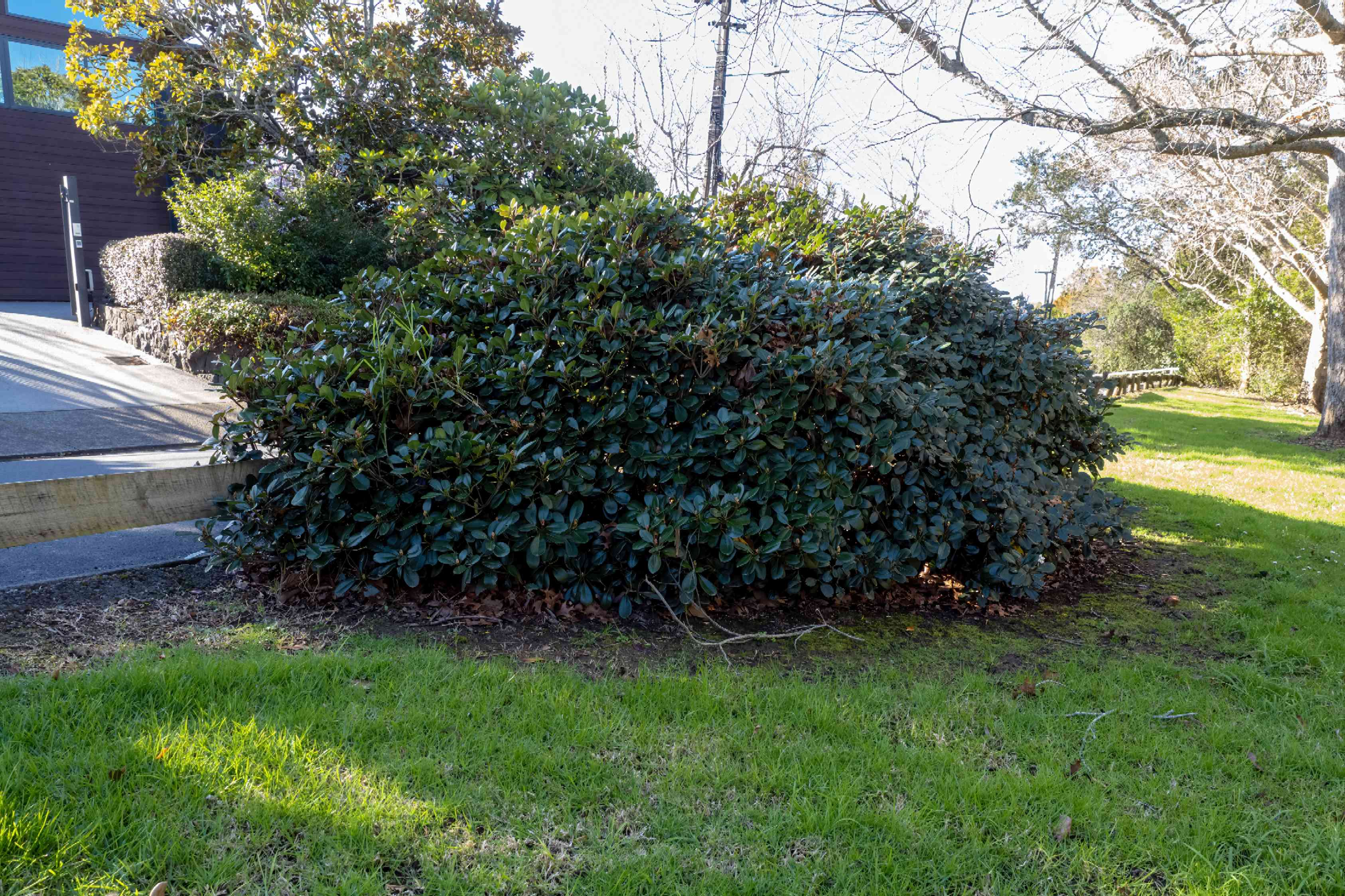 Indian hawthorn shrub growing in a rounded shape near street