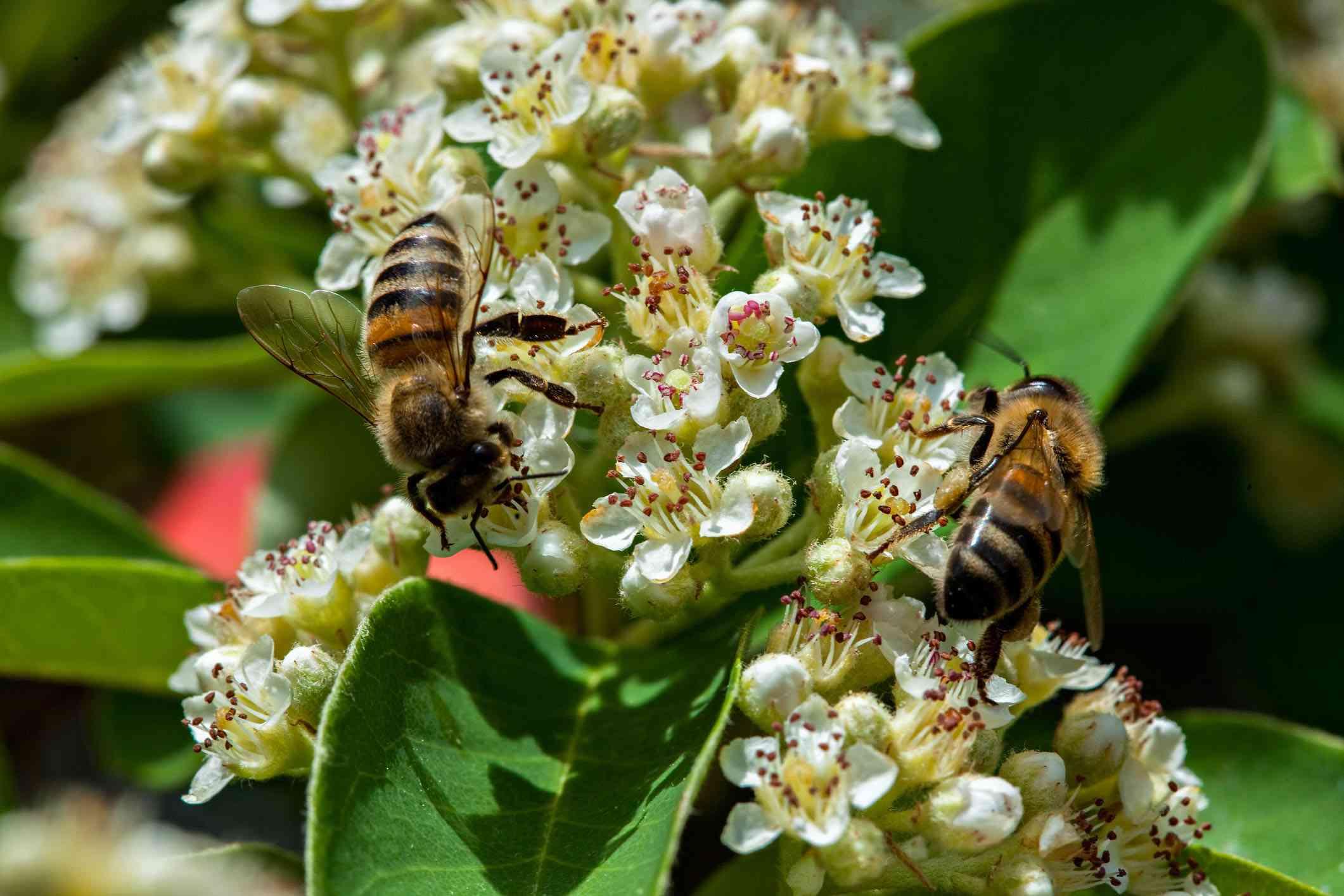 Dos abejas en las flores de Cotoneaster