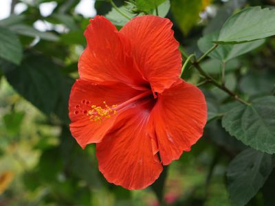 Hibiscus with large orange petals and long pistil with yellow pollen closeup