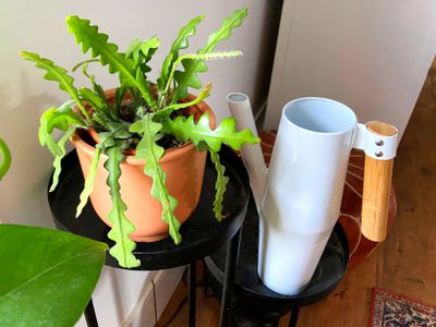 A small fishbone cactus (Disocactus anguliger) sitting on a black stand with a white watering can next to it.