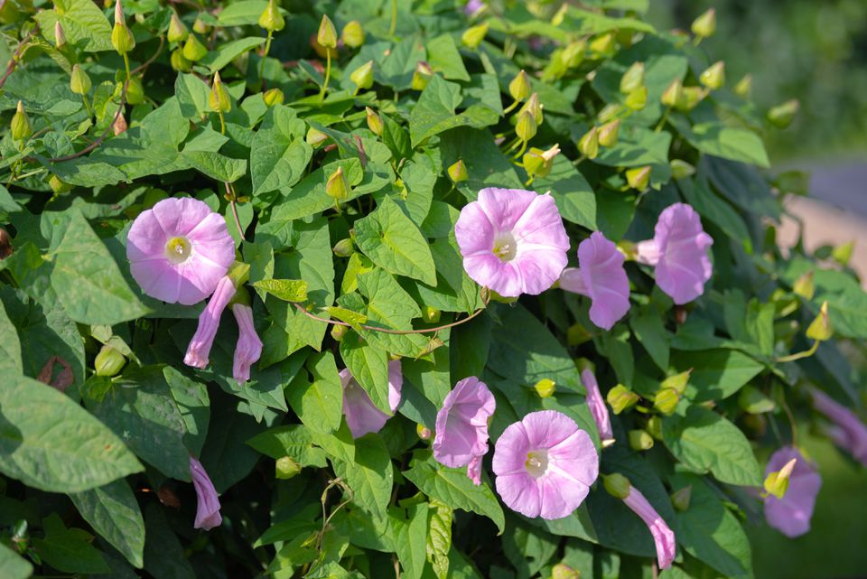 Bindweed plant with small pink and white cup-shaped flowers surrounded by arrow-shaped leaves
